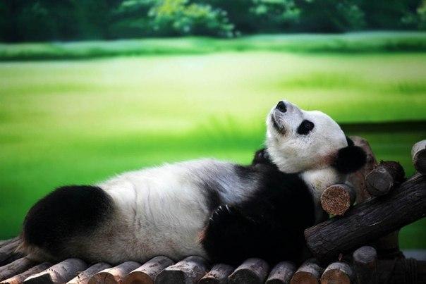 10-летняя панда по имени Xin Yue лежит на деревянном шезлонге в