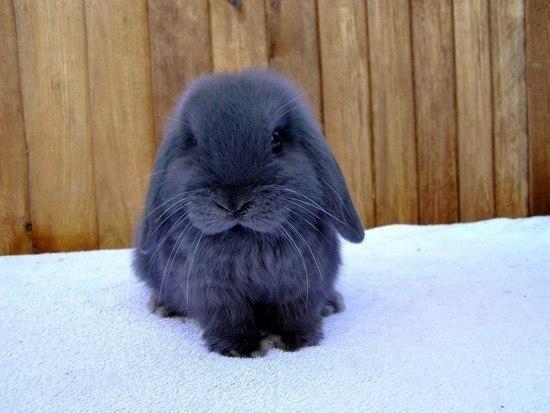 Американский голубой кролик имеет такой глубокий окрас, ч
