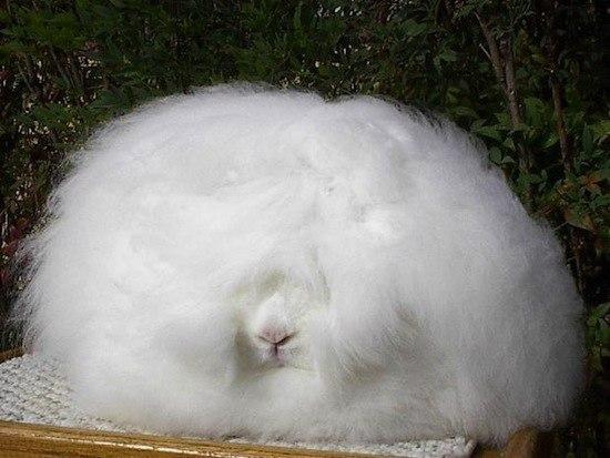 Ангорский кролик — самый пушистый кролик в мире.