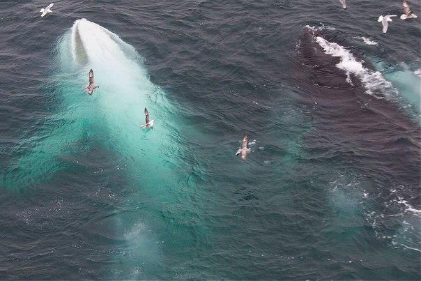 Белый кит у берегов Свальбарда