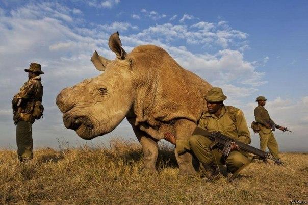 Белый носорог, которых осталось всего 4 в мире, бродит в окр