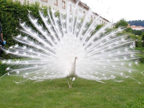 Белый павлин.
