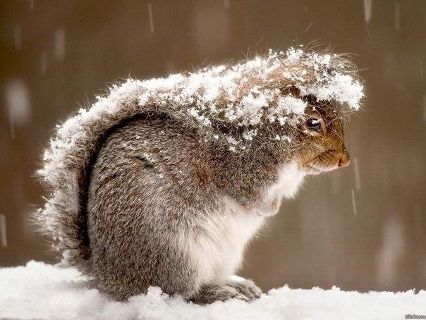 Белка прячется под своим хвостом во время снежной бури.