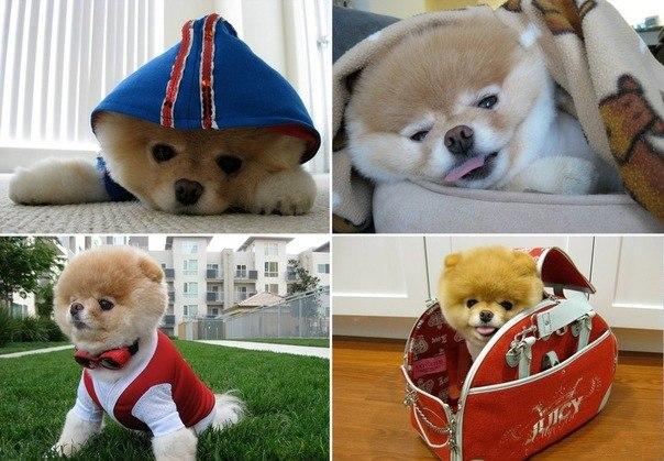 Бу (Boo) – собака, покорившая весь мир.