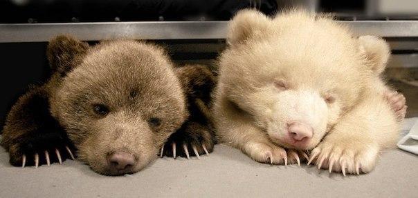 Бурый медвежонок Перец и его сестра-альбинос Соль из зоопа