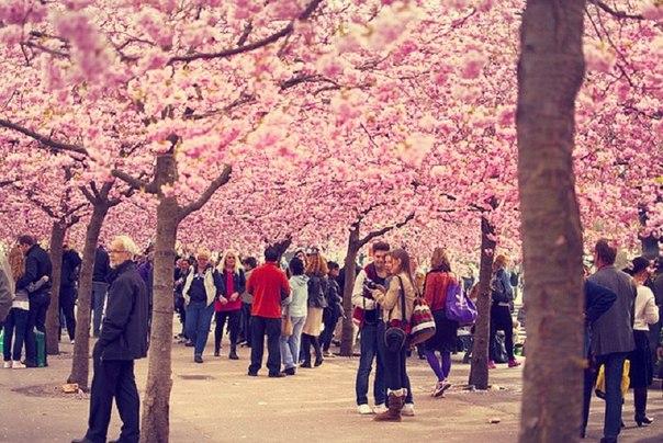 Цветение сакуры в парке - в центре СтокгольмаШвеция.