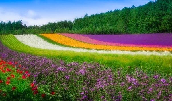 Цветочное поле, Хоккайдо, Япония.