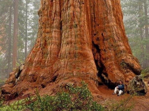 Дерево Генерала Шермана - самое большое в мире.