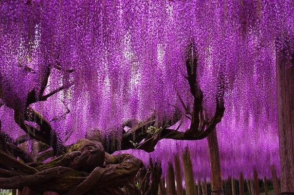 Дерево в парке цветов Асикага, Япония.