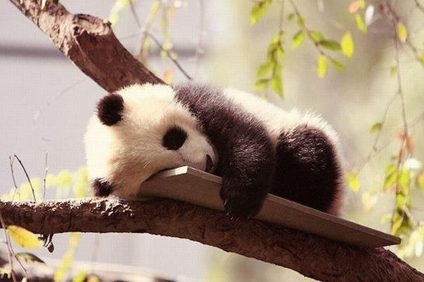 Детеныш панды в китайском заповеднике Чэнду.