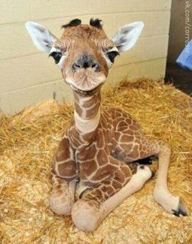 Детёныш жирафа.