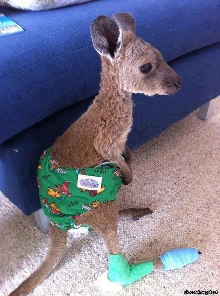 Детёныш кенгуру.