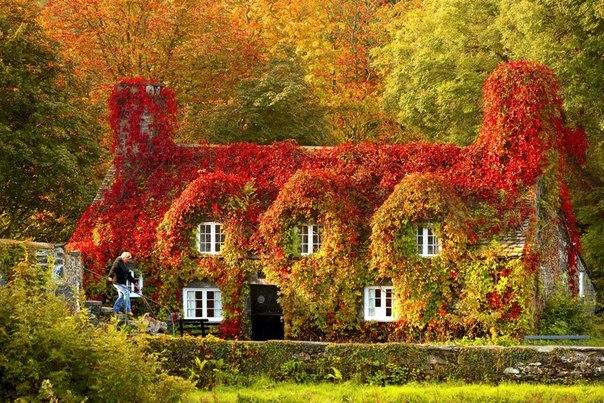 Дом, заросший плющем, осенью