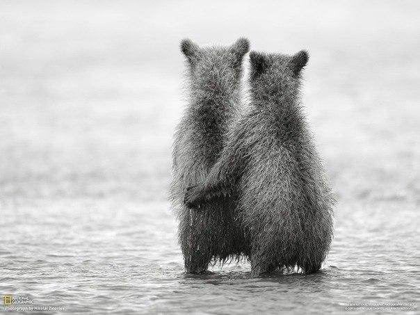 Двухгодовалые медвежата, брат и сестра, ждут возвращения м