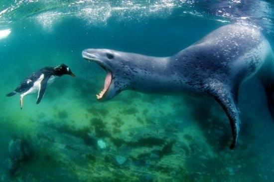 Фатальная для пингвина встреча с морским леопардом в Атла