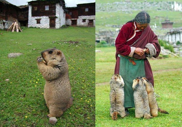 Гималайский сурок.