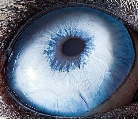 Глаз Хаски.