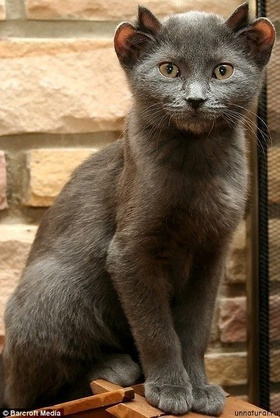 Йода: четырехухий кот.