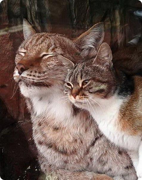 Кошка Дуся и рысь Линда в Ленинградском зоопарке.