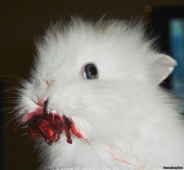 Кролик кушает вишню.