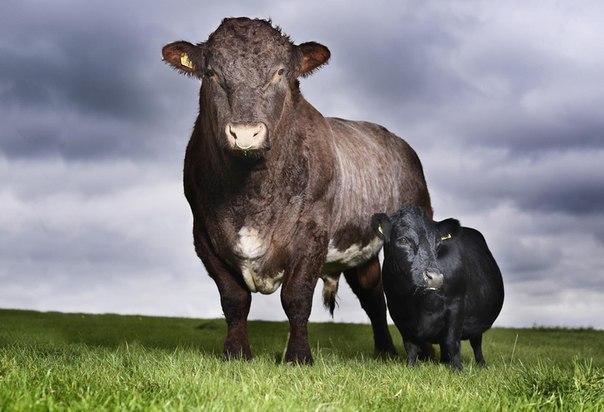 Ласточка (справа) – 11-летняя корова из Йоркшира стоит рядо