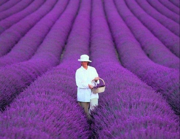Лавандовые поля в Провансе, Франция.
