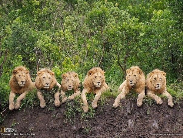 Львы на отдыхе, Танзания.