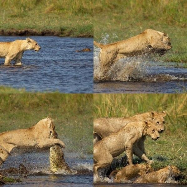 Львица нападает на крокодила, чтобы защитить свою семью.