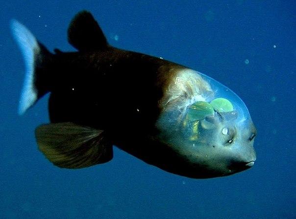 Macropinna microstoma - Глубоководная рыба с прозрачной головой - одн