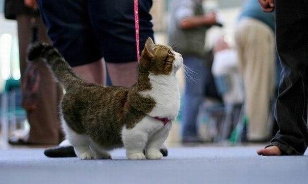 Манчкины — очень необычные кошки. При средней длине тела и
