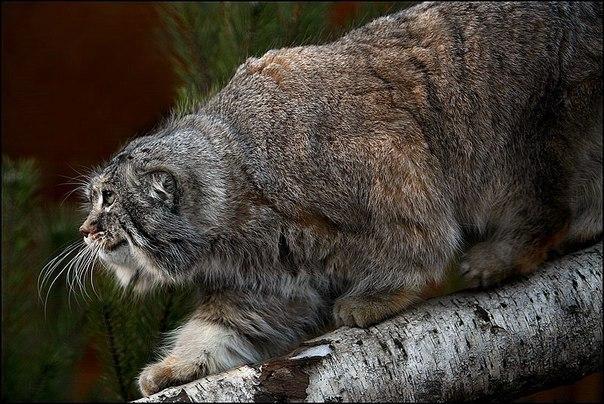 Манул - степной кот.