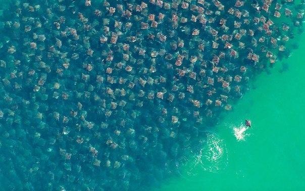 Миграция скатов-иглохвостов, фотография сделана в местечк