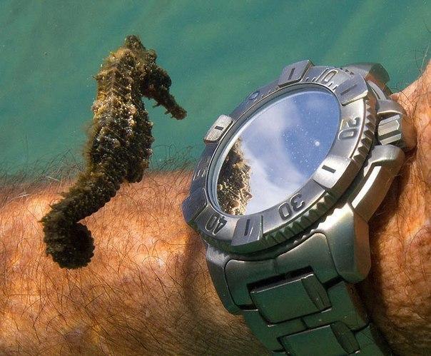 Морской конек разглядывает часы аквалангиста