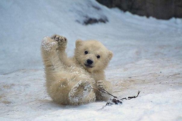 Обычные будни белого медвежонка.