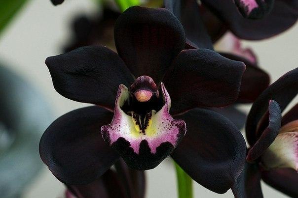 Очень редкий вид - черная орхидея или Cymbidium Kiwi Midnight