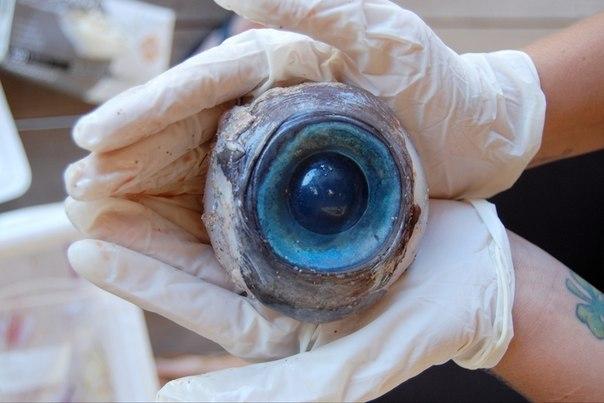 Огромное глазное яблоко размером с мяч было найдено на пля