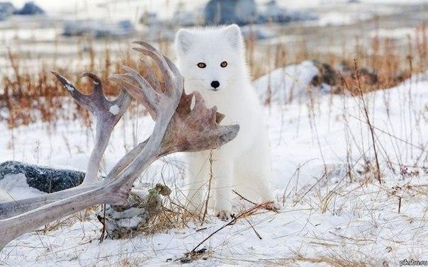 Полярная лисичка.