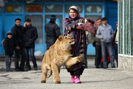 Полуторагодовалый лев Вадик выпрашивает мясо у сотрудниц