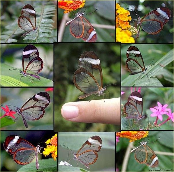 Прозрачные бабочки.
