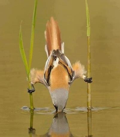 Птичка пьёт воду.