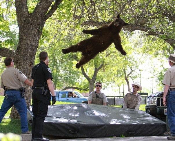 С дерева падает медведь, уснувший под действием транквили
