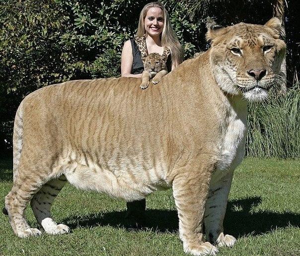 Самая крупная большая кошка на Земле - Лигр. Это гибрид, пот