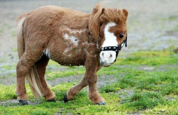 Самая маленькая лошадь АвстралииОна такая маленькая, что