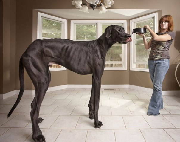 Самая высокая собакаВысота гиганта составляет 1.12 м