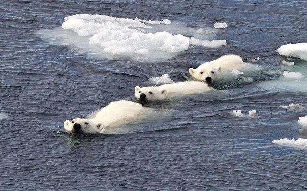Семья белых медведей дружным строем плывет в водах Шпицбе