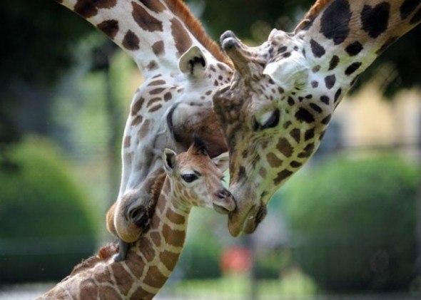 Семья жирафиков.
