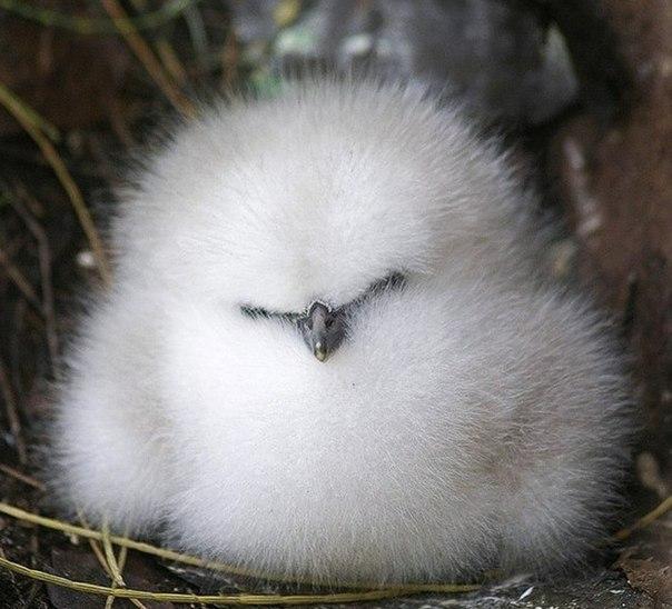 Шелковый цыпленок.