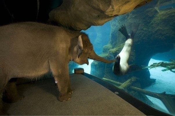 Слоненок увидел морского котика.
