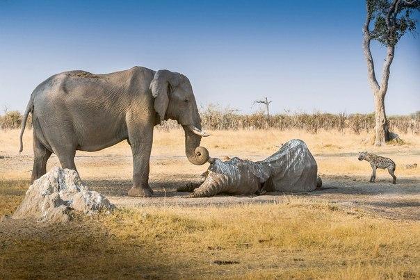 Слониха в Ботсване обнаружила погибшего товарища. Она ото