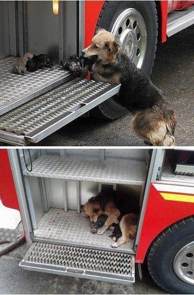 Собака спасает своих детей от пожара, пряча их в пожарную м
